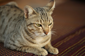 Not all cats have an active response to catnip, but study suggests other cats adopt the Sphinx position, like this tabby cat