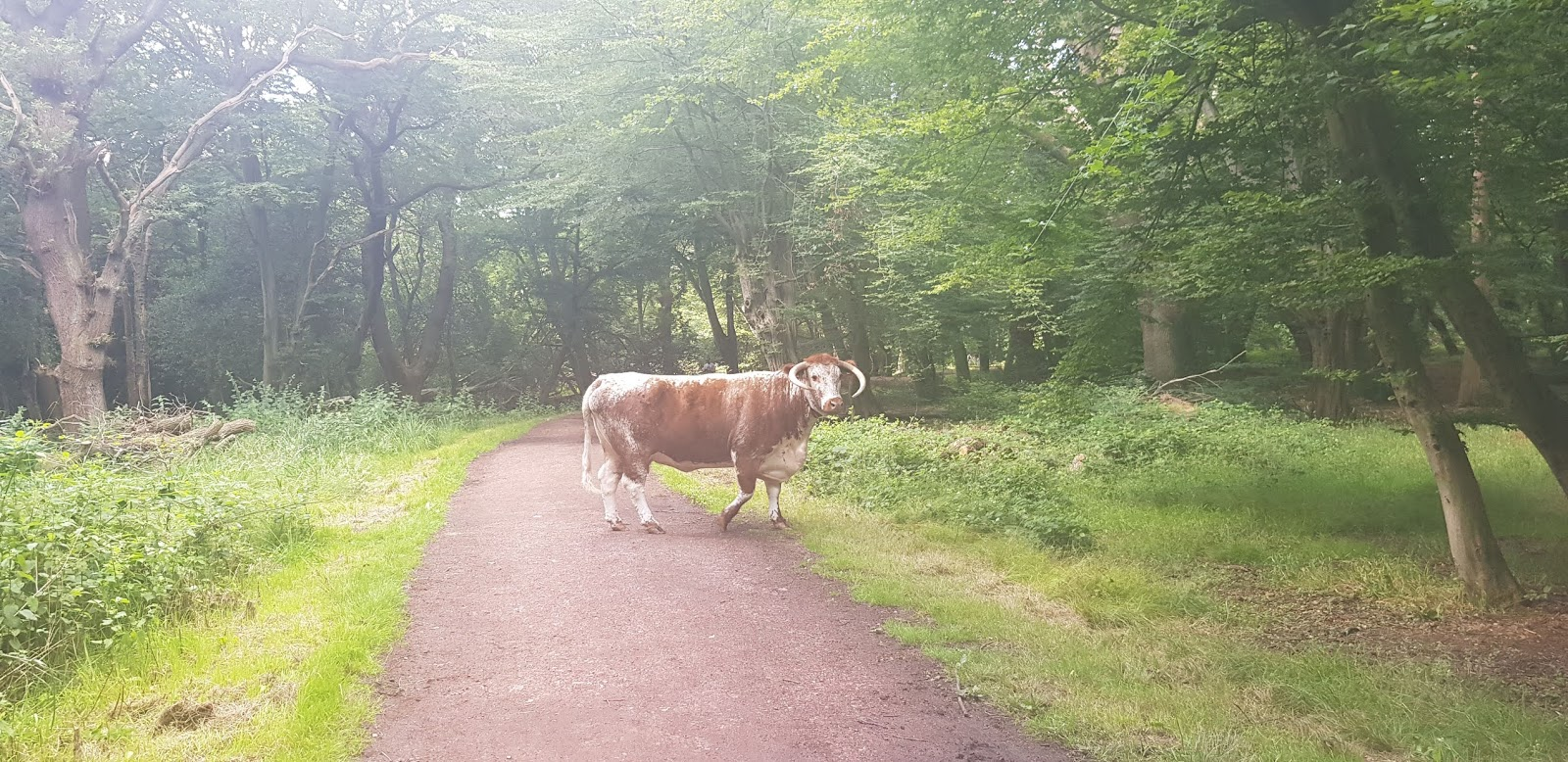 Cattle return to Epping Forest in the summer