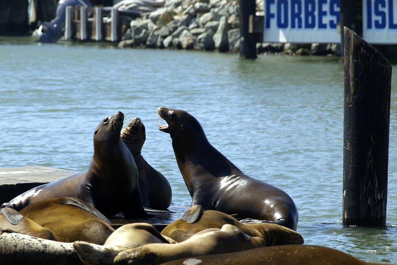 lobos marinhos tomando sol na orla de São Francisco na California
