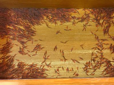 ミニ孵化場の稚魚