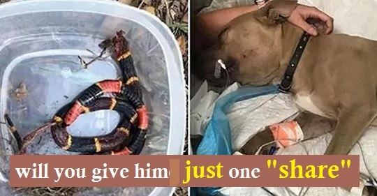 Pit Bull dies after saving kids from aggressive snake