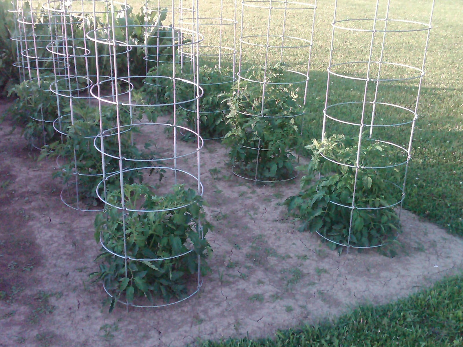The absolute with out question undeniably best tomato cage is the one pictured above it is solid collapsible and simply the only tomato cage that is