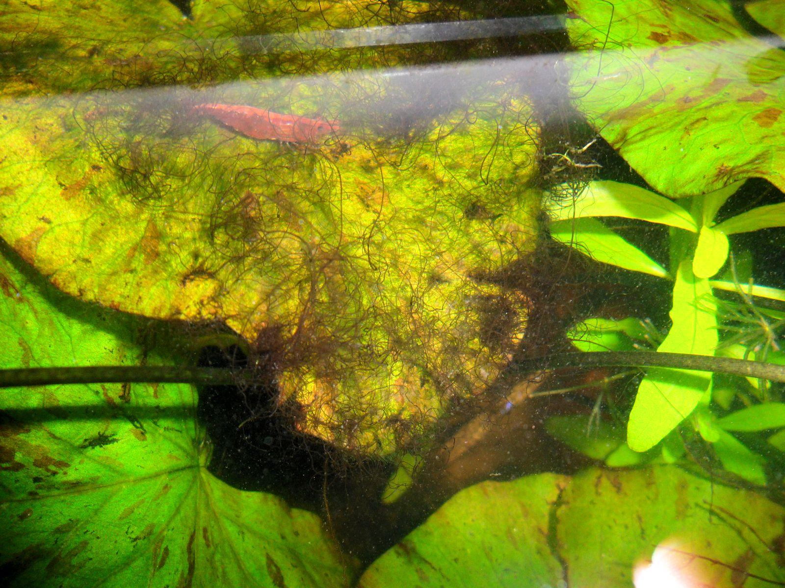 vihreä kirkkaan vihreä levä akvaariossa