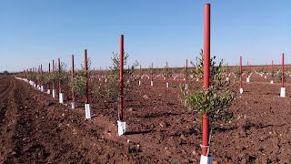 Plantación de olivar superintensivo en Sevilla