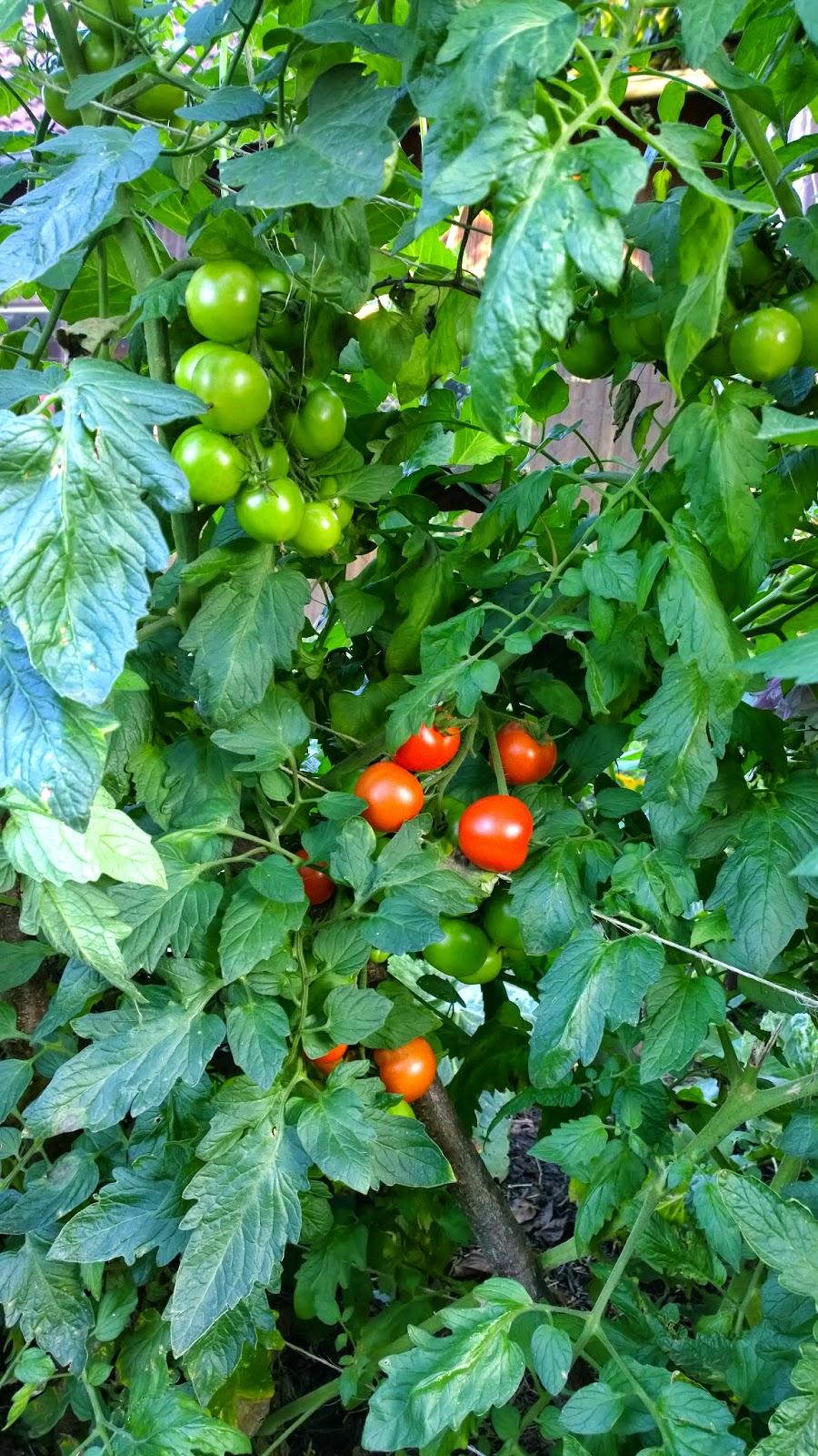 achimsgarten der selbstversorger und garten blog braunf ule an den kartoffeln erste tomaten. Black Bedroom Furniture Sets. Home Design Ideas