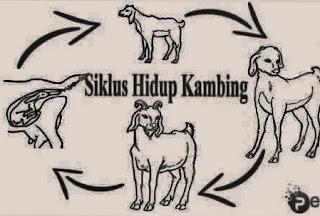 Penjelasan tentang gambar jenis siklus daur hidup kambing