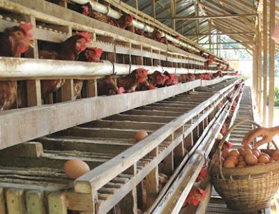 Peluang Bisnis Usaha Ternak Ayam Petelur dengan Analisa Lengkap