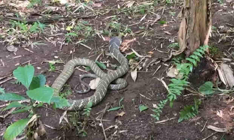 King cobra reaches altitude of 2400 meters in Uttarakhand