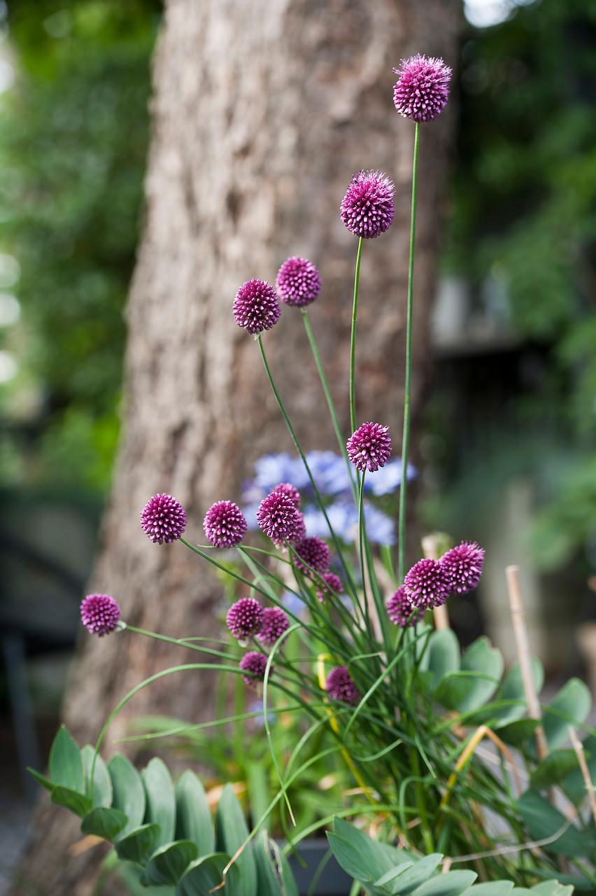 flores pequeñas de ajo en color púrpura