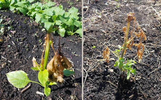 корни, видимо, сохранились и росточки снизу пошли, вот какая тяга к жизни