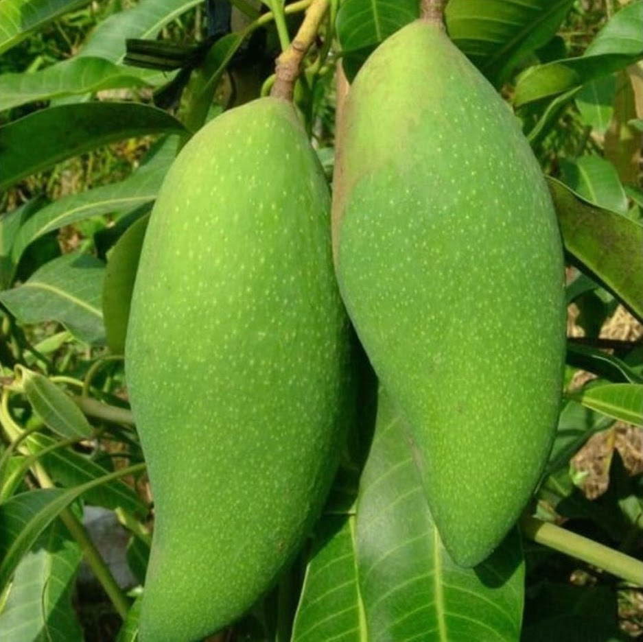 Jual Bibit tanaman mangga golek india Jawa Tengah