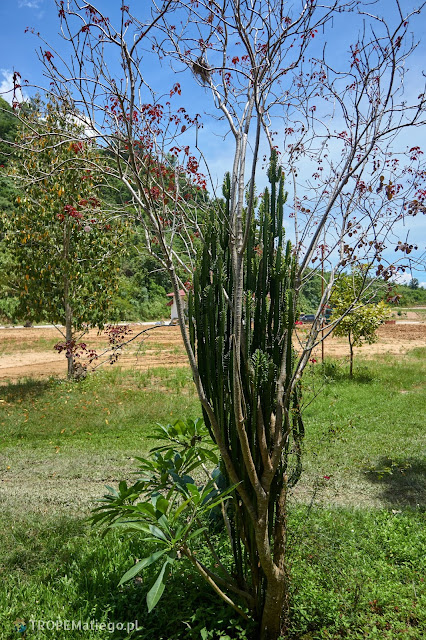 Symbioza drzewa z kaktusem
