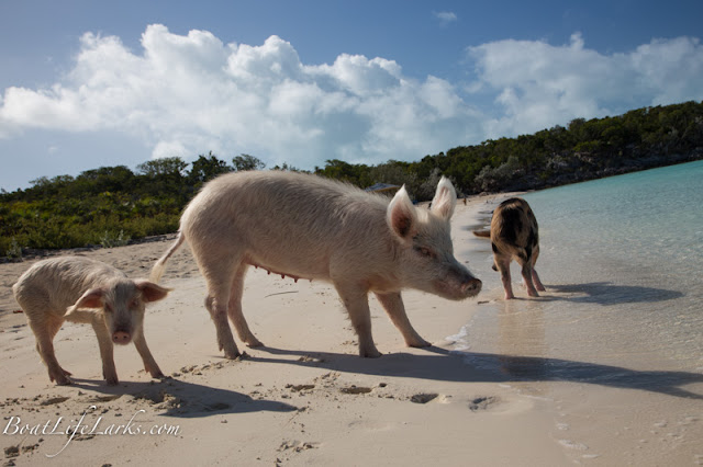 Swimming pig, Bahamas