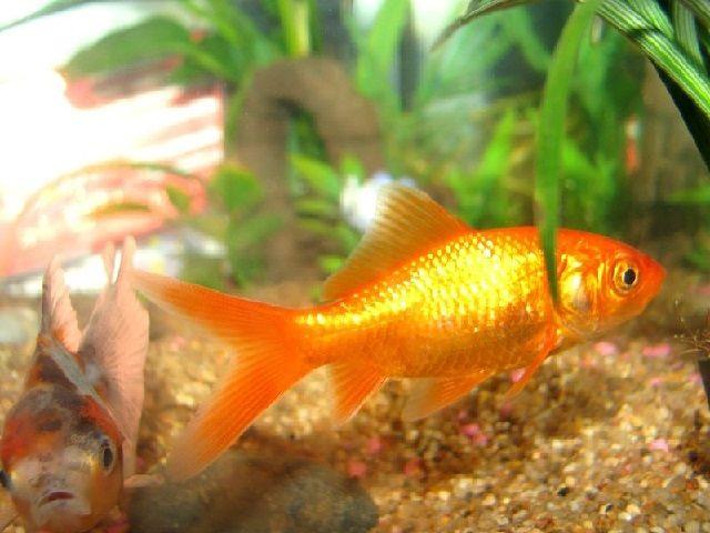 Budidaya Ikan Mas