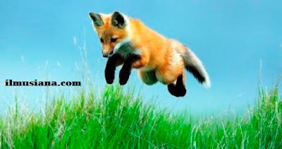 Red Fox hewan cepat