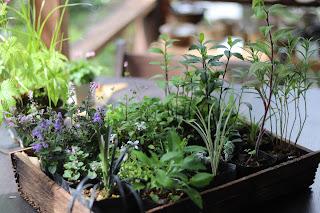 山野草盆栽の苗