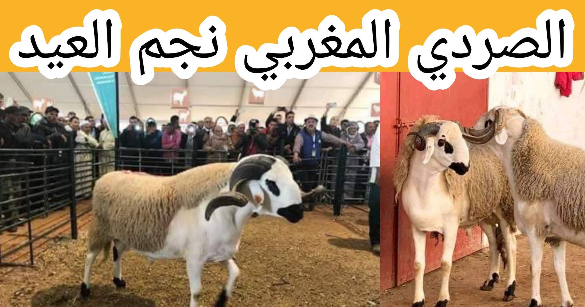 خروف الصردي المغرب