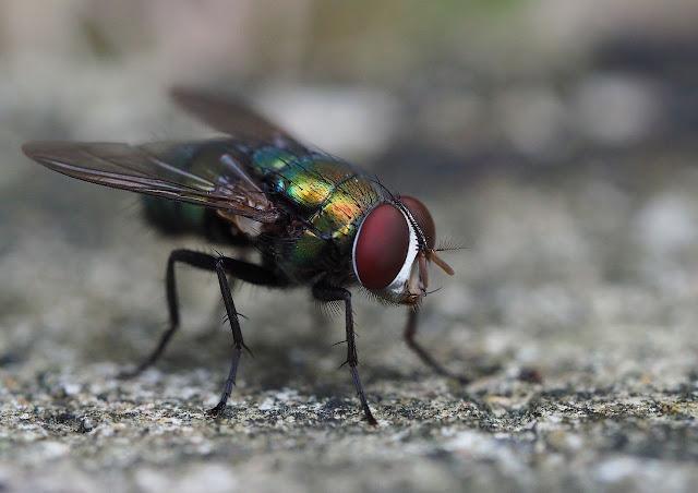 Sayap Lalat Bawa Penyakit Sekaligus Obat Menurut Rasulullah SAW