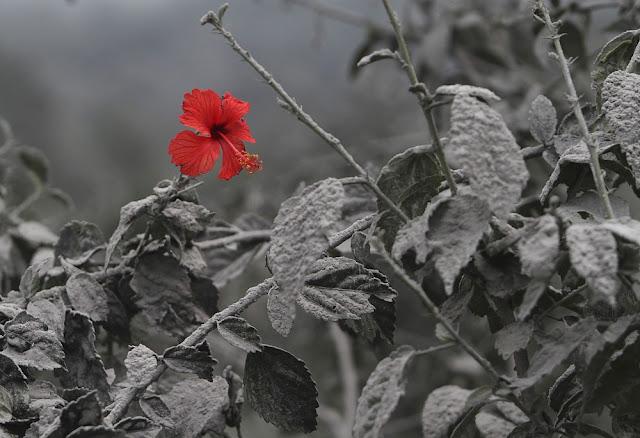 Bunga yang mekar di antara debu erupsi di Sumatera, Indonesia
