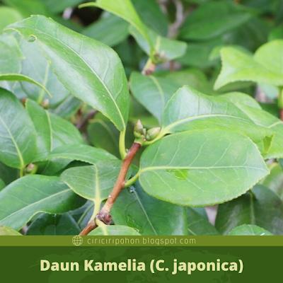 Ciri Ciri Daun Kamelia (C. japonica)
