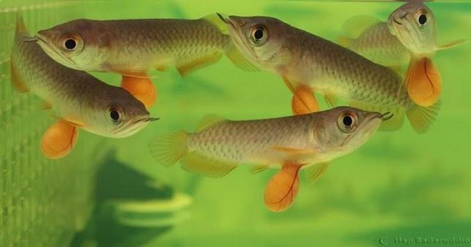 Cara Praktis Budidaya Ternak Ikan Arwana Di Rumah