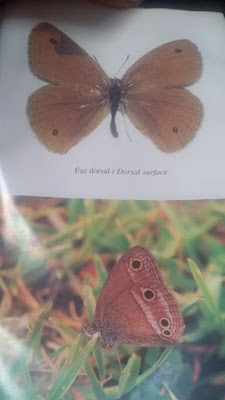 Mariposa bandas grises (Pampasatyrus periphas)