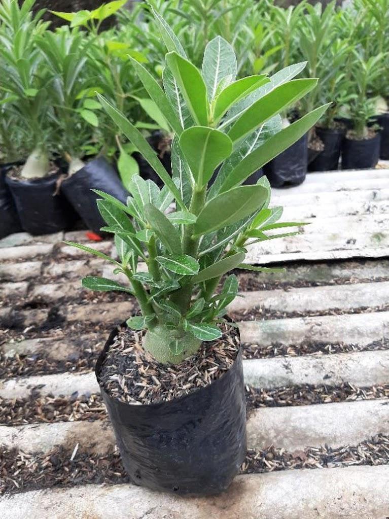 Adenium Kamboja Cabster Cabang seribu 1 paket isi 3 pohon size A Jambi