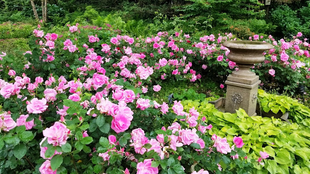 large stand of pale pink roses all in bloom around a fountain