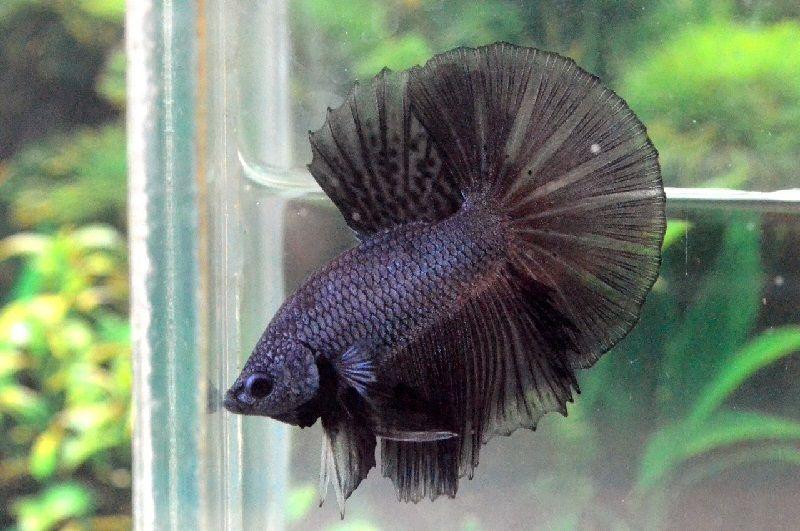 Ikan Halfmoon Kontes halfmoon contas hitam