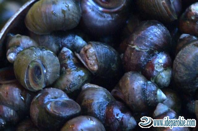 Panduan Cara Ternak dan Budidaya Keong Sawah Sebagai Bahan Makanan Bergizi