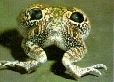 Chilean four eyed frog , fake eye-spots Frog