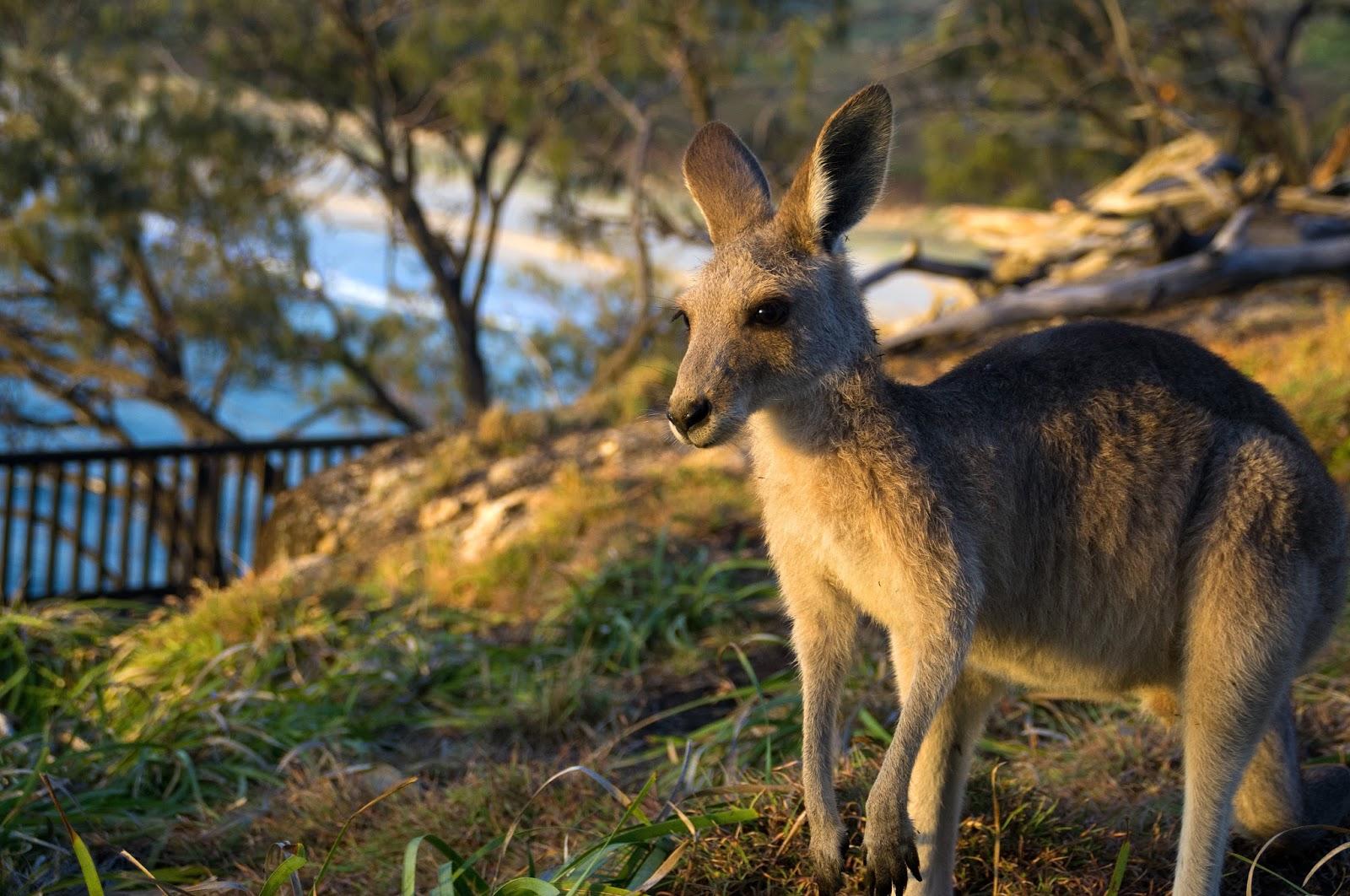 Kangaroos on North Gorge Walk Stradbroke Island
