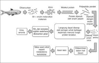diagram penyerapan nutrisi makanan di usus