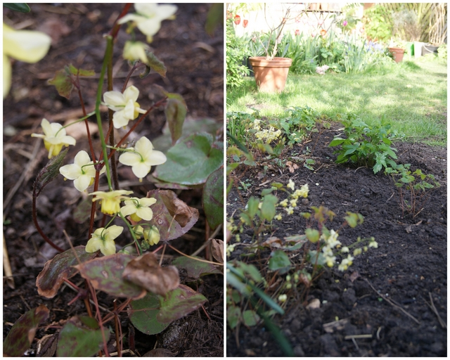 Elfenblume Epimedium pinnatum ssp. colchicum
