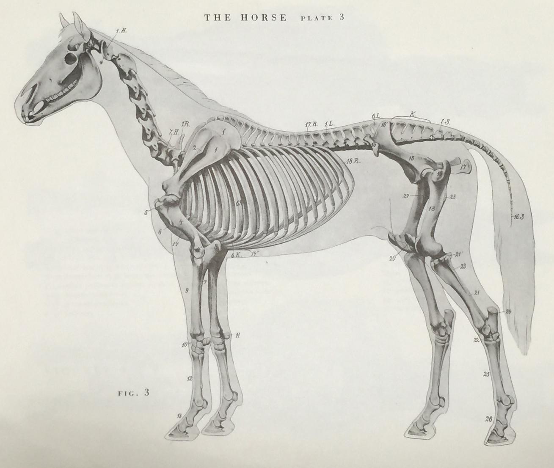 Fantastisch Horse Intestine Anatomy Galerie Menschliche Anatomie