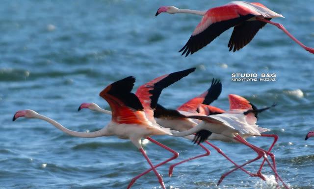 Καλοκαιρινή επίσκεψη από εξωτικά ροζ φλαμίνγκο στο Ναύπλιο