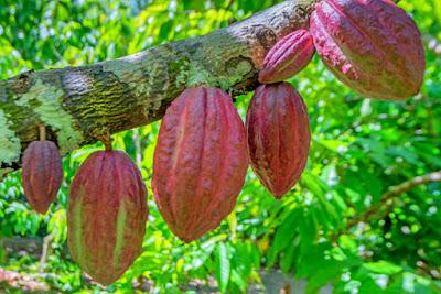 cocao pods on a cocao tree