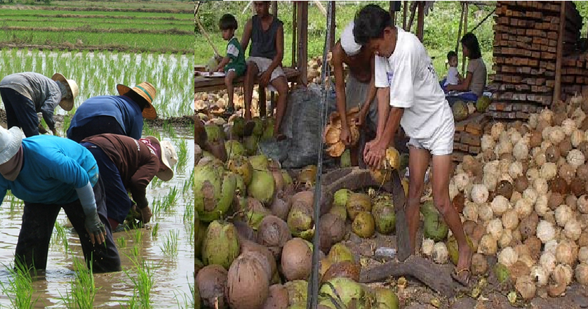 Rice Tarification Law resulted in falling prices of palay ...
