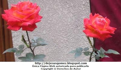 Foto de rosas rojas de Jesus Gómez