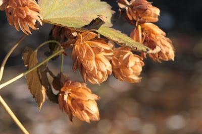 Λυκίσκος: σπορά φύτεμα καλλιέργεια