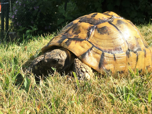 Schildkröte Schildi am Weiden