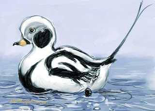 Long-tailed Duck, a bird sketch by Artmagenta.
