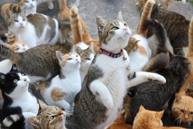 Pulau kucing Aoshima, Jepang