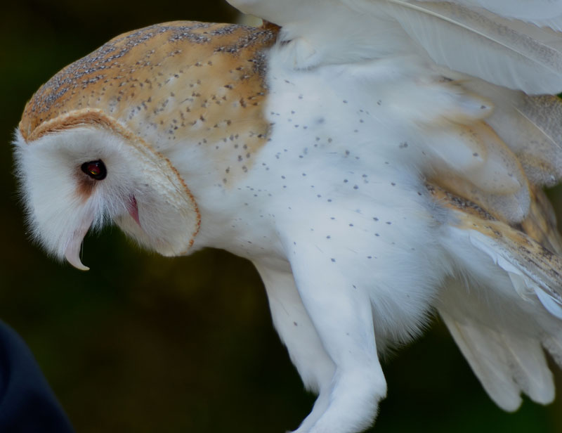 Red And The Peanut The Beauty Of A Barn Owl