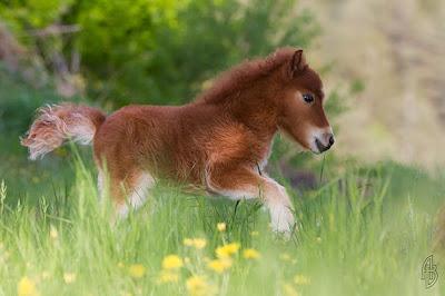 pony pequeño
