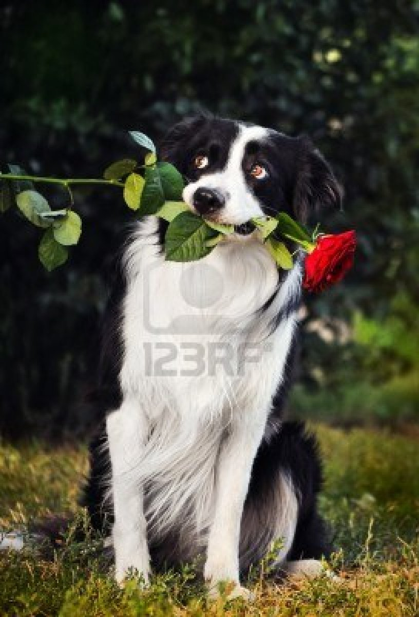Cute Dogs: Cute Border collie dogs