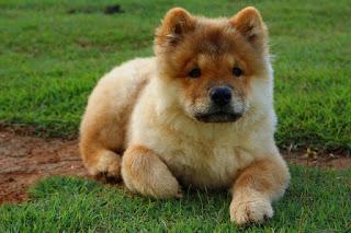 Jenis Anjing Chow Chow