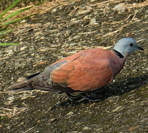 Indian birds - Picture of Red turtle dove - Streptopelia tranquebarica