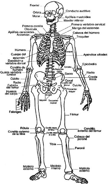 Dibujo del sistema óseo sin color para pintar