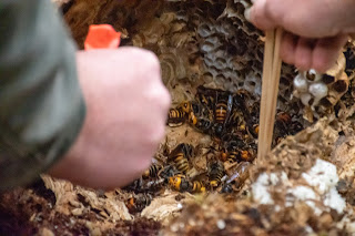 Grabbing Asian giant hornets out of the opened log